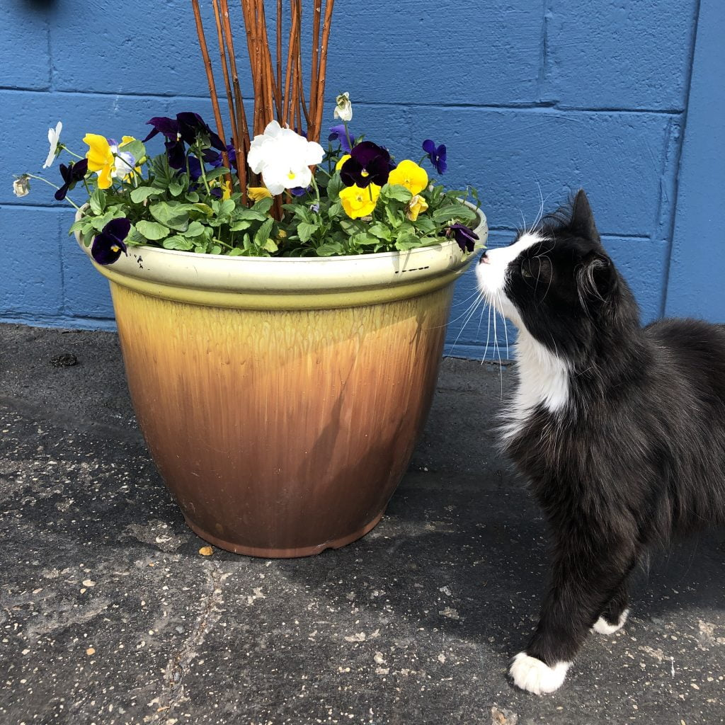 Cat Jack White Smelling the Flowers